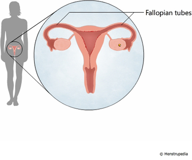 illustration of fallopian tubes - Menstrupedia