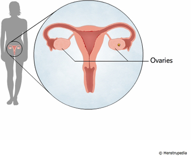 illustration of ovaries - Menstrupedia