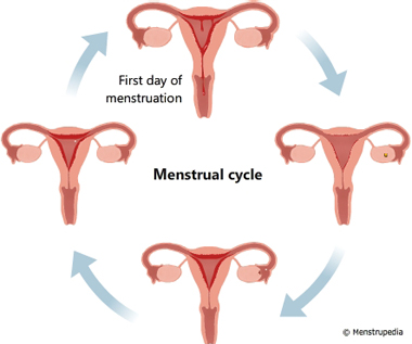 Illustration of phases of menstrual cycle showing that the first day of the cycle starts from the first day of menstruation - Menstrupedia