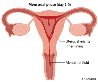 Friendly guide to healthy periods menstrupedia illustration of menstrual phase lasts from day 1 5 showing uterus shedding its inner lining ccuart Image collections