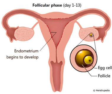 Illustration of Follicular phase lasts from day 1-13 showing an egg cell maturing in a follicle in one of the ovaries and endometrium begins to develop in the inner surface of the uterus - Menstrupedia