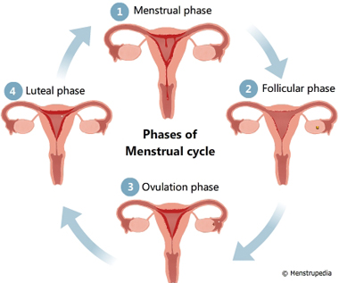 Friendly guide to healthy periods menstrupedia illustration of different phases of menstrual cycle menstrual phase follicular phase ovulation phase ccuart