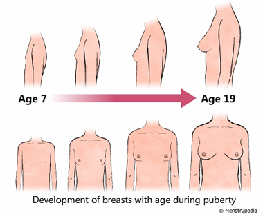 illustration of development of breasts during puberty in girls from age 7 to age 19 - Menstrupedia